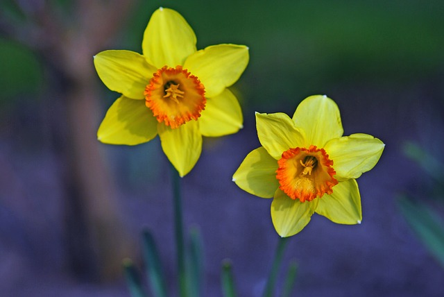 Tips for Growing Daffodils